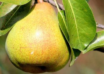 Kalorien, Kohlenhydrate & Zucker in der Birne| Helfen sie beim Abnehmen?