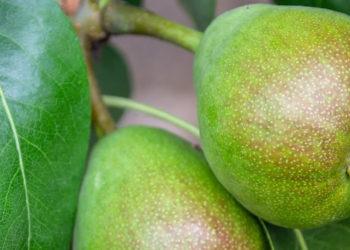 Ist die Birne gesund? | Die wichtigsten Werte im Vergleich mit anderem Obst